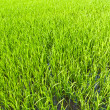Stock Photo: From the beginning of rice grains