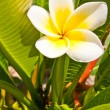 Plumeria flowers white — Stock Photo #10143728