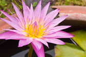 Lotus flowers in the sink — Stock Photo
