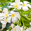 Plumeria flowers white — Stock Photo