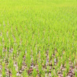 From rice immature — Stock Photo