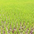 Stock Photo: From rice immature