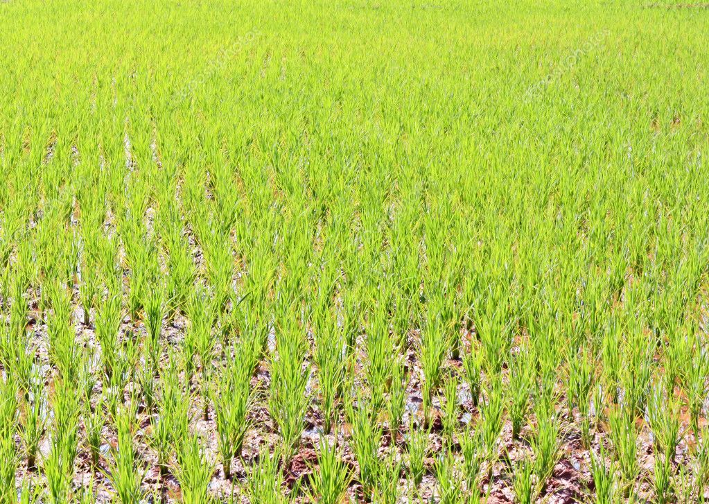 From rice immature No ears of corn on the muddy ground  Stock Photo #10166456