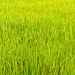 Royalty-Free Stock Photo: From the beginning of rice grains