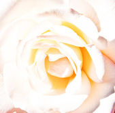 The white rose — Stock Photo