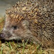 Hedgehog — Stock Photo #9468215