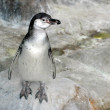 Penguins — Stock Photo #9468229