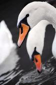 Swan in water — Stock Photo