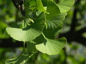 Feuille de ginko biloba — Photo