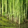 Green reed texture — Stock Photo