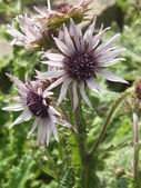 Berkheya Blume — Stockfoto