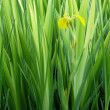 Stock Photo: Wild yellow iris