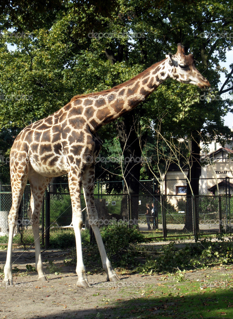  A giraffe in the zoo Poznan  Stock Photo #8665959