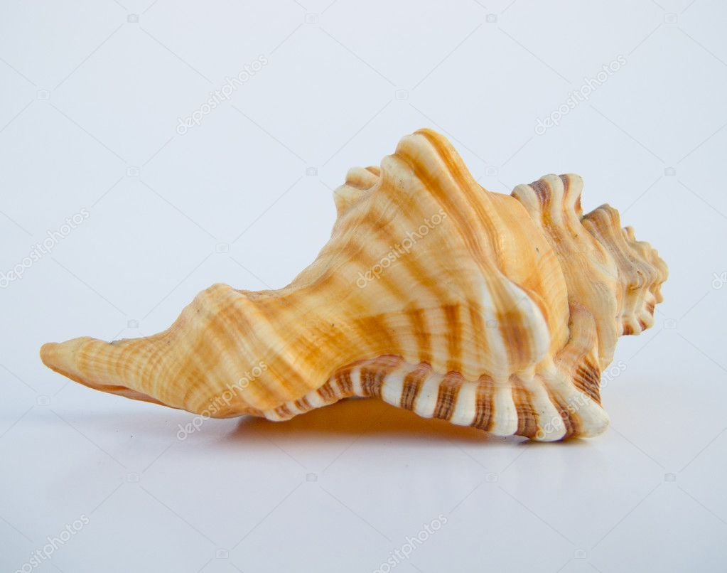 A beautiful seashell in brown.  Stock Photo #9643578