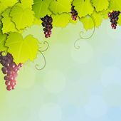 Grapevine on sunlight — Stock Photo