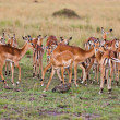 Group of wild gazelle — Stock Photo #8200344
