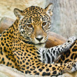 Wild leopard — Stock Photo