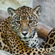 Wild leopard — Stock Photo #8319882