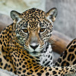 Stock Photo: Wild leopard