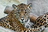 Wild leopard — Stock Photo