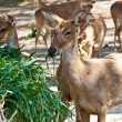 Wild eld or deer — Stock Photo #8320120