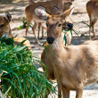 Wild eld or deer — Stock Photo