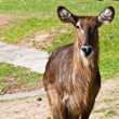 Wild antelope — Stock Photo #8320423