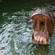 Large hippo opening its mouth for food — Stock Photo