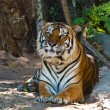 Stock Photo: Female wild tiger from Thailand