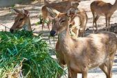 Wild eld or deer — Stock Photo