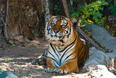 Female wild tiger from Thailand — Stock Photo