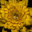 Stock Photo: Jewel on yellow flower