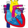 Anatomy of the human heart - Stock Vector