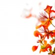 Branch of beautiful orange flower isolated on white background — Stock Photo #10469814