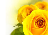 Beautiful yellow rose flower — Stock Photo