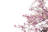 Branch of beautiful pink flower isolated on white background — Stock Photo