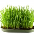 Green grass in a pot isolated on a white background — ストック写真
