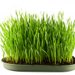 Green grass in a pot isolated on a white background — Stok fotoğraf