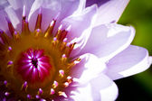 Beautiful blossom purple lotus with yellow pollen — Stock Photo