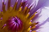 Beautiful blossom purple lotus with yellow pollen — Stock Photo