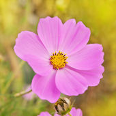 Beautiful flowers cosmos — Stock Photo