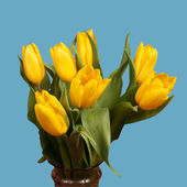 Yellow tulips isolated on a blue — Stock Photo