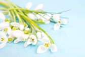 Delicate snowdrops on a blue — Stock Photo