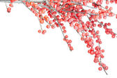 Christmas branch with red berries and frost — Stock Photo