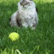 Beautiful cat that won't fetch — Stock Photo #9417094