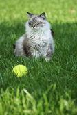 Beautiful cat that won't fetch — Stock Photo