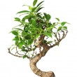 Bonsai tree isolated on white — Stock Photo