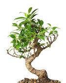 Bonsai tree isolated on white — Stock Photo