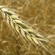 Wheat field — Stock Photo #8104825