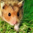 Stock Photo: Hamster on grass